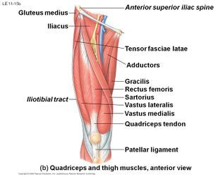 Quadriceps Tendon Tear Physiopedia Thigh Muscles Leg Muscles Diagram Muscle Body