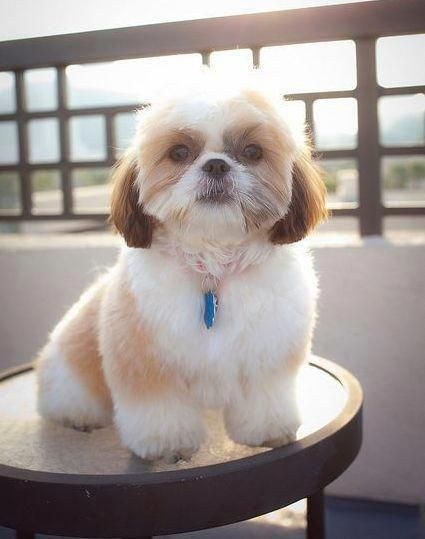 All The Things I Love About The Playfull Shih Tzu Puppies