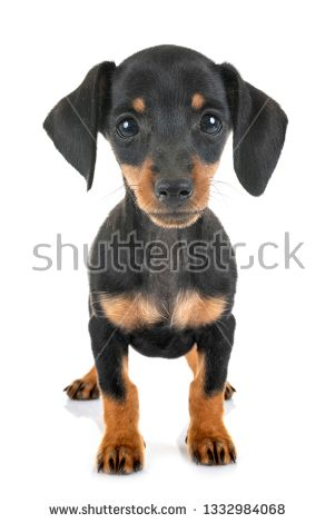 Stock Photo Puppy Black And Tan Miniature Dachshund In Front Of
