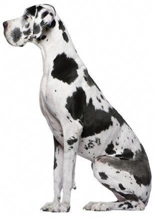 Find Out More On The Elegant Great Dane Health Greatdanepuppies