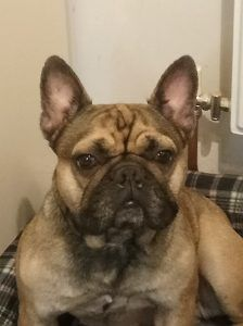 Available To Adopt Phoenix French Bulldog Rescue French