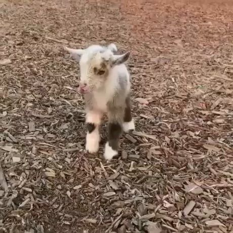 The cutest baby goat ever