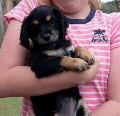 Labradoodle Puppies Poodle Puppies For Sale Coffs Harbour New South Wales On Pups4sale Com Au In 2020 Labradoodle Puppy Labradoodle Puppies