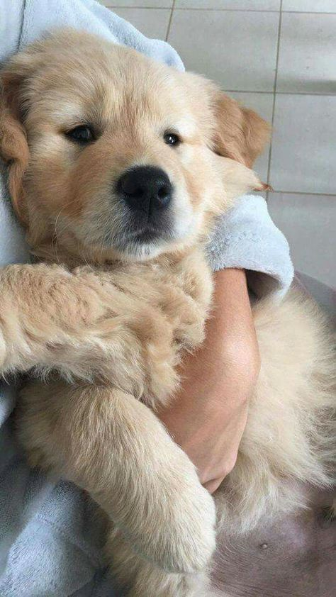 Discover The Trustworthy Golden Retriever Puppy Size Cute dogs and puppies - Retriever Puppy, Dogs Golden Retriever, Golden Retrievers, Golden Retriever Quotes, Labrador Retrievers, Cute Baby Animals, Funny Animals, Wild Animals, I Love Dogs