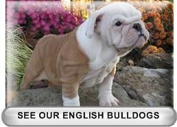 Home Of Breezy Acre Bulldog Puppies For Sale In Kentucky