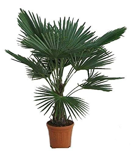 Winterharte Hanfpalme Trachycarpus Fortunei 140 160cm Stamm 30 40cm Im 17ltr Topf Hanfpalme Winterhart Garten