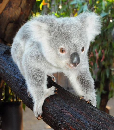 See the Adorable Baby Koala the Australia Zoo Named After
