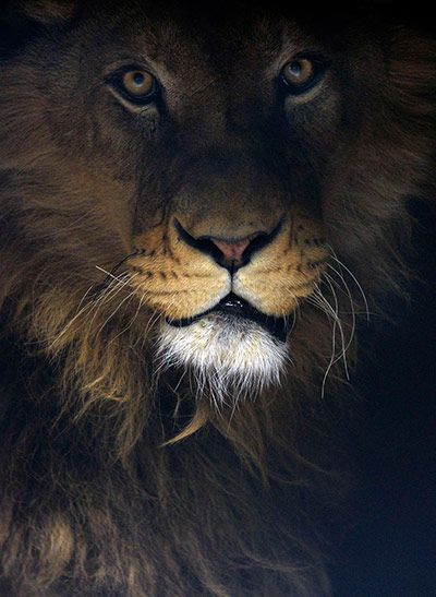 week in wildlife: Ivan, a 4-year-old lion, sits inside a private roadside zoo in Novi Pazar