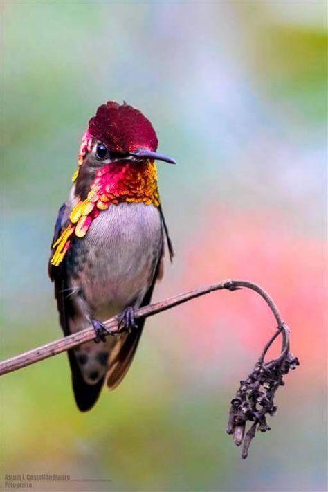 Zuncucito Bee Hummingbird.❤