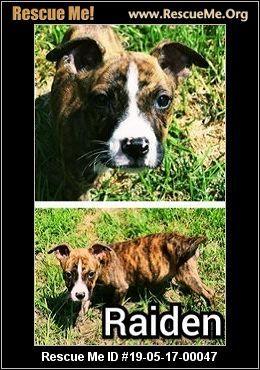 New Jersey American Bulldog Rescue Adoptions Rescue Me American Bulldog Rescue American Bulldog American Bulldog Mix