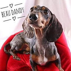 Available Pets At Diamond Dachshund Rescue Of Texas In San Antonio