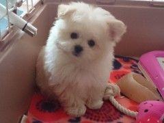 8月 2015 ポメプーくりん 愛犬ブログ Part 5 コング ブランズ ブログ