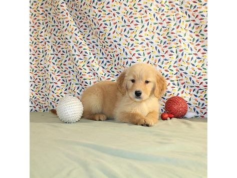 Checkout This Cute Golden Retriever 12508 At Petland Naperville