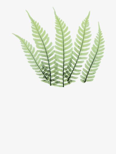 Fern Leaf Fern Clipart Simple Leaf Png Transparent Clipart Image And Psd File For Free Download Leaves Clip Art Plant Leaves