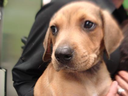 Adopt Newt On Labrador Retriever Labrador Retriever Mix Labrador Retriever Puppies
