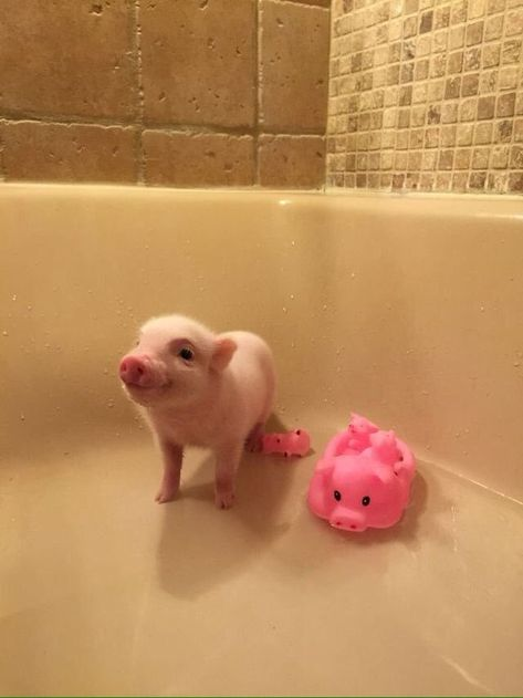 """11:11 on Twitter: """"… """" Cute Baby Pigs, Baby Piglets, Cute Piglets, Cute Little Animals, Cute Funny Animals, Cute Dogs, Little Pigs, Teacup Pigs, Pet Pigs"""