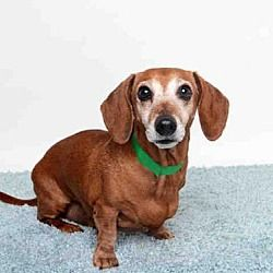 Murray Utah Dachshund Mix Meet Moki A For Adoption Https