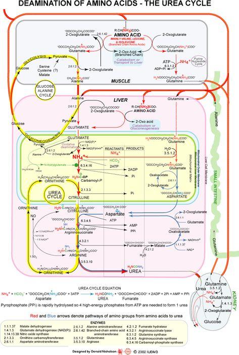 Deamination of Amino Acids - The Urea Cycle