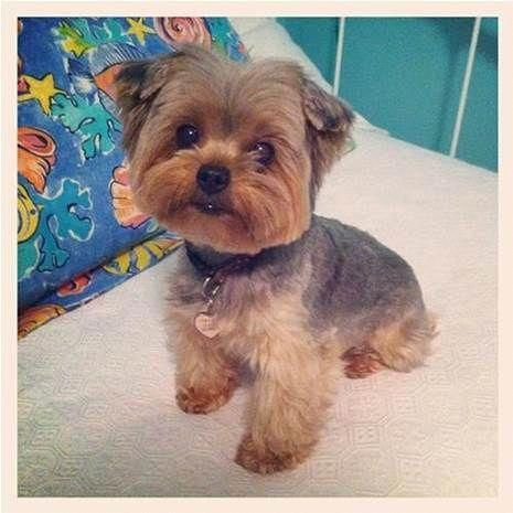 Teddy Bear Yorkie Haircut Bing Images Yorkshireterrier Yorkshireterrierpups Yorkie Yorkshire Terrier Dog Yorkie Puppy