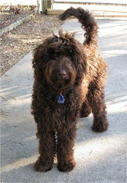 Chocolate Labradoodle. I love my Goldendoodle but this is equally as precious!