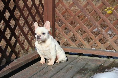 Sunny Girl French Bulldog Puppy For Sale In Wilkes Barre Pa Lancaster Puppies Bulldog Puppies Bulldog Puppies For Sale Lancaster Puppies