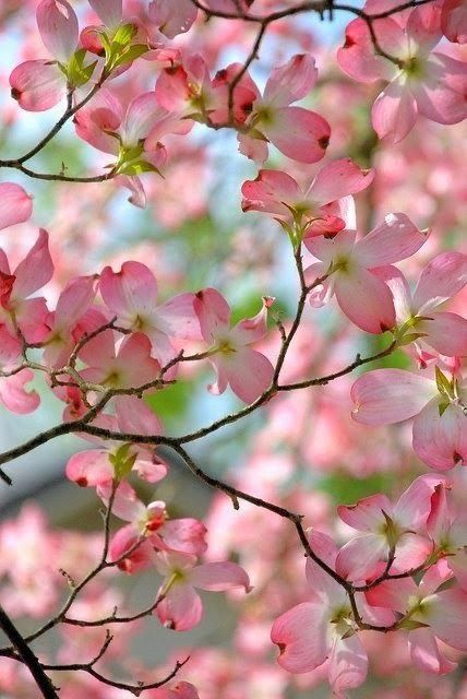 Pink Dogwood In Bloom Dogwood Blooms Flowering Trees Pink Dogwood