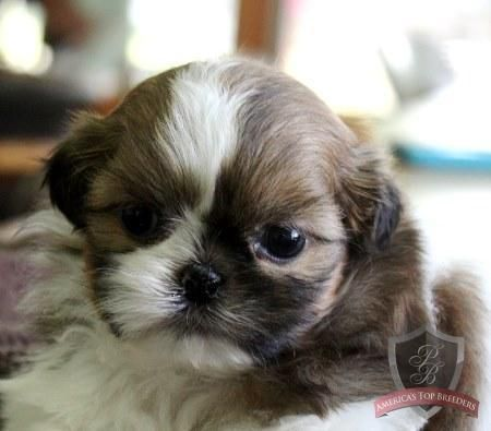 Shih Tzu Puppy Dee Shihtzu Shih Tzu Puppy Shih Tzu Dog Shih Tzu
