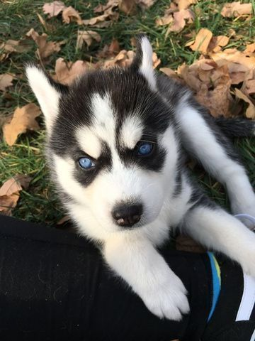 Siberian Husky Puppy For Sale In Union Mo Adn 59527 On