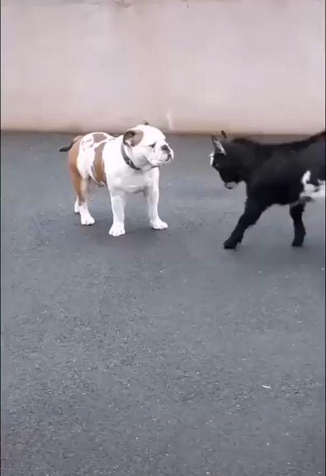 Baby goat use headbutt! It's not very effective