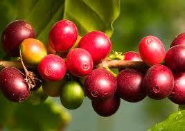 الكامو كامو فاكهه الكامو كامو سر الجمال تعرف لماذا Camu Camu Http Arabymall Com 2019 03 Camu Camu Html الكامو كامو هي نوع من الفاكهة الصالحة للأكل من Fruit