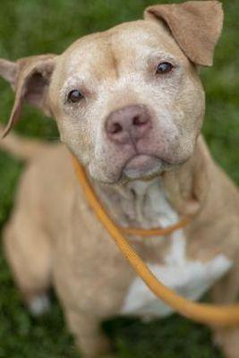 Pin On Pitbull Terrier