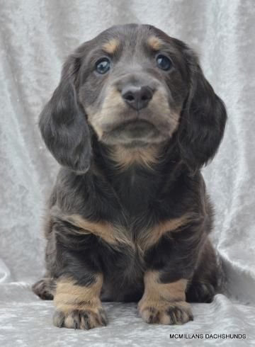 Puppy Pen Quality Longhair And Smooth Akc Mini Dachshund Puppies