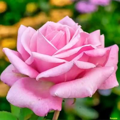 Pin By روز لافندر On ورد Video Beautiful Rose Flowers Love Flowers Beautiful Roses