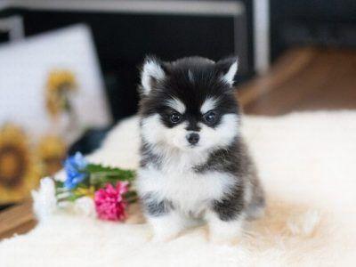 Micro Pomeranian Archives Microteacups Teacup Puppies Pomeranian Puppy Teacup Tiny Puppies