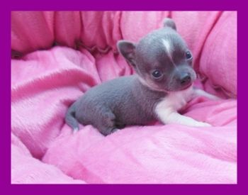 My Very Tiny Blue And White Baby With Images Chihuahua
