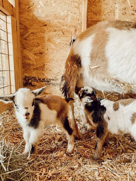 We all need hope and we recently got a glimmer of hope on our little farm with the arrival of 2 adorable Nigerian dwarf baby goats.  Come read the story.