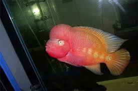 Image result for Super Red Monkey Thailand   Flowerhorn   Monkey