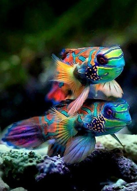 Mandarin Fish, my favorite salt water fish. I love when they eat the small coepods out of my tank. Underwater Creatures, Underwater Life, Ocean Creatures, Cool Sea Creatures, Underwater Animals, Pretty Fish, Beautiful Fish, Beautiful Friend, Beautiful Things