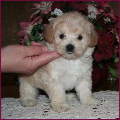 Maltipoo Puppies For Sale Maltese Toy Poodle Mixed Breed Poodle