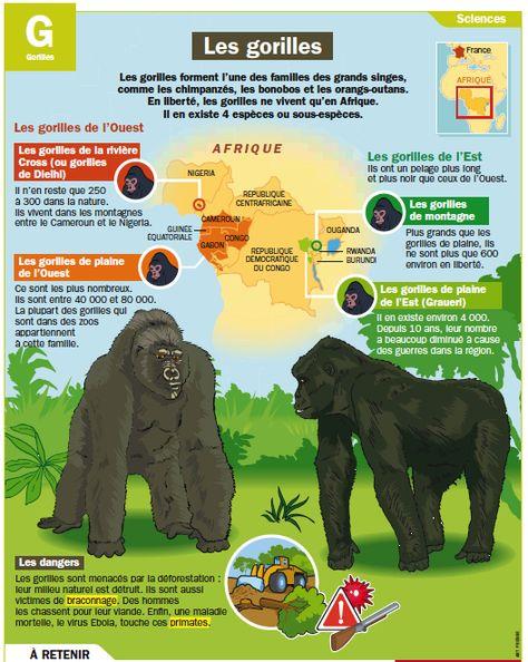 Fiche exposés : Les gorilles