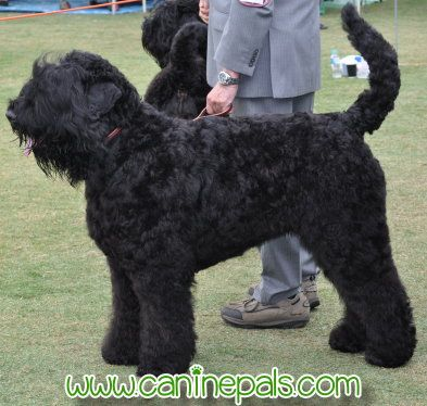 Russian Black Terrier Black Russian Terrier Dog Breeds Pictures