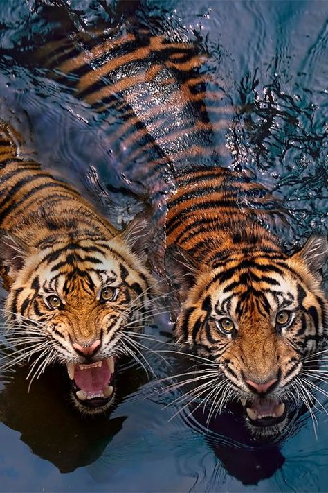 A true story about the tiger eating 400 peopel Nature Animals, Animals And Pets, Baby Animals, Cute Animals, Cute Creatures, Beautiful Creatures, Animals Beautiful, Tableau Pop Art, Tiger Art