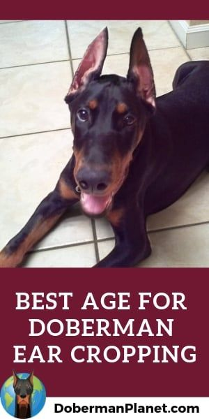 What S The Best Age To Crop Your Doberman S Ears At How Late Can