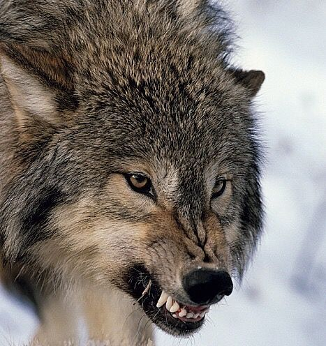 If You Are A Wolf Lover Save Our Pin Follow Us For More