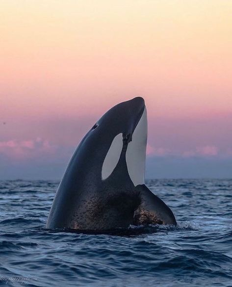 Magnificent Orca whale The Effective Pictures We Offer You About Mammals aesthetic A quality picture can tell … Orca Tattoo, Whale Tattoos, The Animals, Strange Animals, Beautiful Creatures, Animals Beautiful, Reptiles, Mammals, Orca Art