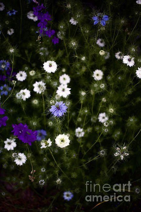 Rocket Larkspur And Love In A Mist Garden Flowers Ii With Images Larkspur Larkspur Flower Flowers