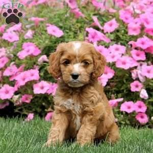Cockapoo Puppies For Sale Cockapoo Dog Breed Info Cockapoo Puppies Cockapoo Dog Cockapoo Puppies For Sale