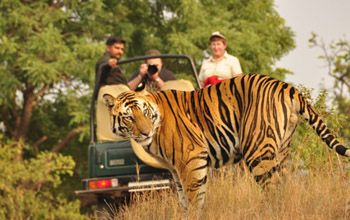 Get A Chance To See The Rare Bengal Tigers With A Rip Roaring