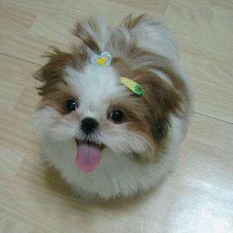 Baby Shih Tzu Precious Hundebaby Hundebabys Susse Tiere