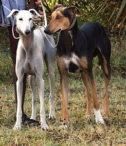 Kanni Wikipedia Hound Dog Breeds Dogs Dog Facts